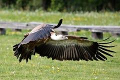 L'avvoltoio Gyps il fulvus in un parco naturale tedesco fotografia stock libera da diritti