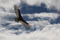 L'avvoltoio Ive della Turchia gli ha ottenuto i miei occhi Immagine Stock