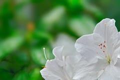 L'azalée blanche fleurit, foyer sélectif, fond vert brouillé Plan rapproché de fleur blanche de neige Photos stock
