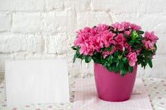 L'azalea di fioritura nella carta in bianco del vaso da fiori rosa dispone liberamente per il fondo rustico bianco del testo Immagini Stock Libere da Diritti