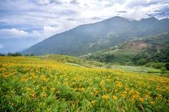 L'azienda agricola daylilyTawny arancio del fiore dell'emerocallide a Taimali Fotografia Stock