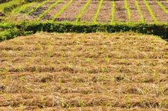 L'azienda agricola dei peperoncini rossi Fotografia Stock