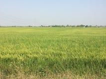 L'azienda agricola del riso è colore verde Fotografia Stock Libera da Diritti