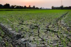 L'azienda agricola del riso di crescita fotografia stock libera da diritti