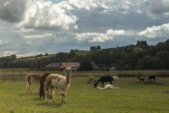 L'azienda agricola dell'alpaga è interessante da visitare Fotografia Stock
