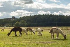 L'azienda agricola dell'alpaga è interessante da visitare Fotografia Stock Libera da Diritti
