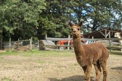 L'azienda agricola dell'alpaga è interessante da visitare Immagine Stock