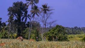 L'azienda agricola dell'ananas che è mantenuta dai lavoratori immagine stock