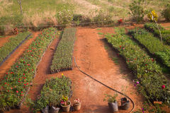 L'azienda agricola di Idian, crescente fiorisce nei fiori a terra aperti in vasi Fotografia Stock