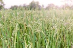 L'azienda agricola ed il tramonto del riso fotografia stock