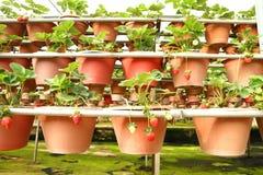 L'azienda agricola organica della fragola Fotografie Stock