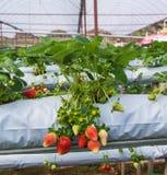 L'azienda agricola organica della fragola Fotografia Stock Libera da Diritti