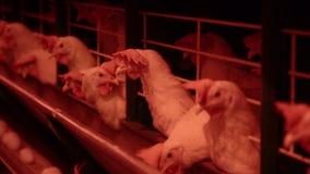 L'azienda avicola per i polli crescere, uova del pollo passa attraverso il trasportatore, i polli e le uova, fabbrica del pollame stock footage