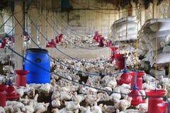 L'azienda avicola rurale con i giovani pulcini bianchi è cresciuto per carne di pollo Fotografie Stock