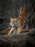 L'azione della tigre Fotografia Stock