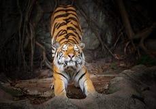 L'azione della tigre, tigri allungate si abbassa immagine stock libera da diritti