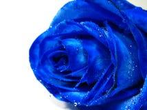 L'azzurro è aumentato con il gocciolamento dell'acqua Immagine Stock Libera da Diritti