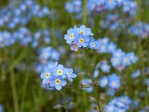 L'azzurro lo dimentica non fiori Fotografie Stock Libere da Diritti