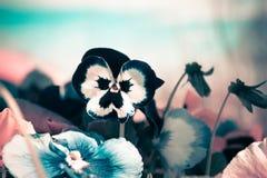 L Blume Stiefmütterchen in einem rosa und blauen Hintergrund Schöner Auszug Stockbild