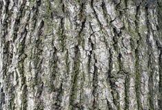 L'?corce d'un vieil arbre ?corce de m?l?ze photographie stock