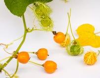 L'or de Grandis de coccinia dans le jardin est ivy-36 Cadre ouvert de lecture Photo libre de droits