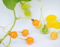 L'or de Grandis de coccinia dans le jardin est ivy-36 Cadre ouvert de lecture Images libres de droits