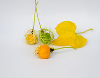 L'or de Grandis de coccinia dans le jardin est ivy-36 Cadre ouvert de lecture Photographie stock