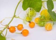 L'or de Grandis de coccinia dans le jardin est ivy-36 Cadre ouvert de lecture Image libre de droits