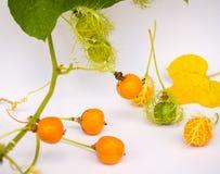 L'or de Grandis de coccinia dans le jardin est ivy-36 Cadre ouvert de lecture Image stock