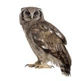 L'Eagle-hibou de Verreaux - lacteus de Bubo images libres de droits