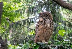 L'Eagle-hibou indien, a également appelé le bengalensis de Bubo d'Eagle-hibou de roche ou d'Eagle-hibou du Bengale images libres de droits