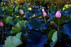 L'eau étroite de Changhaï de fleur de Lotus photo stock