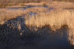 L'eau avec des roseaux Images libres de droits