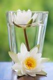 L'eau blanche lilly Image libre de droits