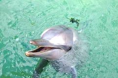 L'eau bleue de dauphin de Bottlenose en clair de l'Australie image libre de droits