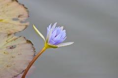 l'eau bleue du Nil de lis Images stock