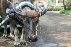 L'eau Buffalobeast de Carrabao de la charge à Philippines Photo stock