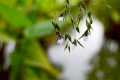 L'eau Canna ou fleur de drapeau d'alligator photographie stock