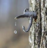 L'eau d'érable d'égoutture formant des perles dans l'entre le ciel et la terre Photo stock