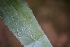 L'eau d'agave sous la forme de puriste image stock