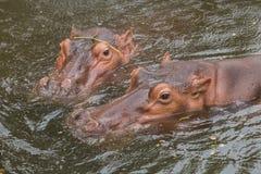 L'eau d'amour d'hippopotames ou de cheval de rivière Photographie stock libre de droits