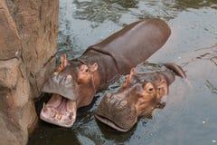 L'eau d'amour d'hippopotames ou de cheval de rivière Photo stock