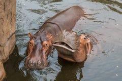 L'eau d'amour d'hippopotames ou de cheval de rivière Photographie stock