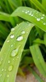 L'eau de baisse sur la feuille de long vert Photo stock