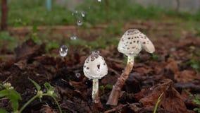 L'eau de baisse sur le musroom dans le jardin botanique banque de vidéos