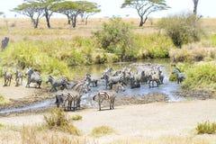 L'eau de boissons de zèbres dans Serengeti Images libres de droits