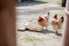 L'eau de boissons de deux poulets de la cuvette photos libres de droits