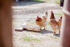L'eau de boissons de deux poulets de la cuvette photo stock