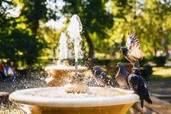 L'eau de boissons de pigeons d'une fontaine image libre de droits