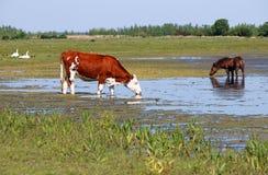 L'eau de boissons de vache et de cheval Photos libres de droits